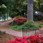 Azaleas by the Memorial Garden